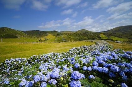 Açores, hortensias