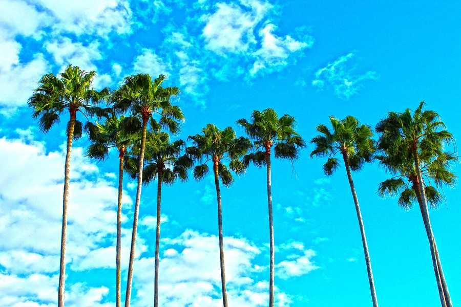 Palm trees of Boca Raton, Florida