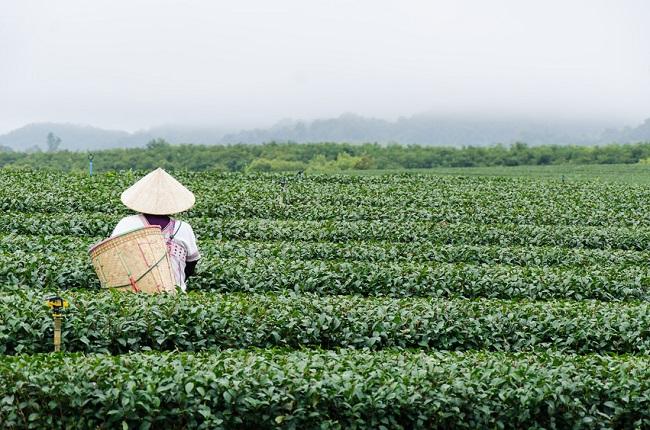 plantation de thé à Chiang Rai