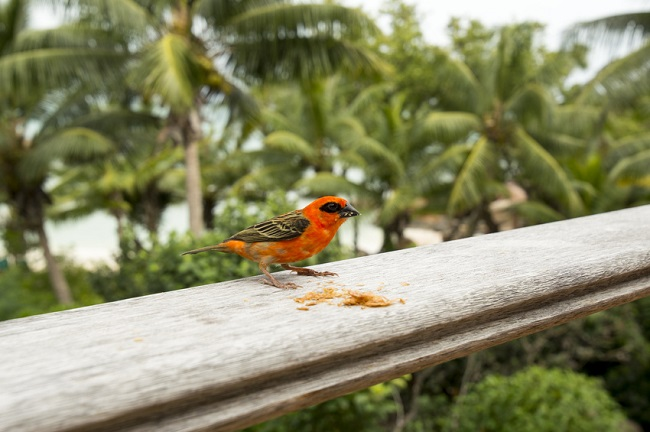 oiseau coloré à Mahé