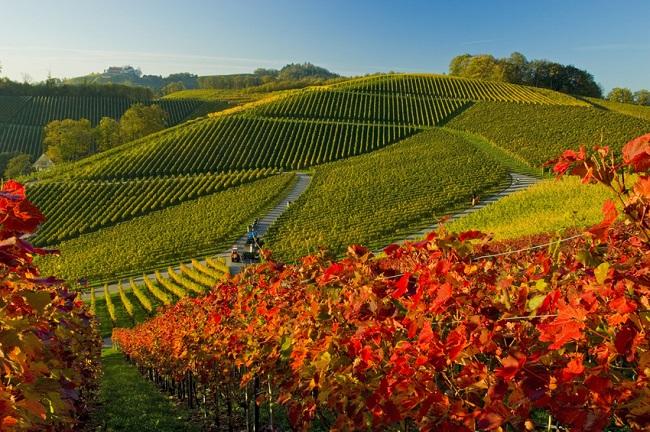 Vignoble dans la région d%u2019Offenbourg