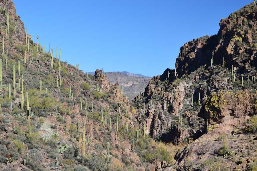 Phoenix, Arizona Saguaro cactus